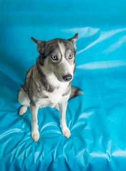 Süßer hund, der auf blauer oberfläche sitzt