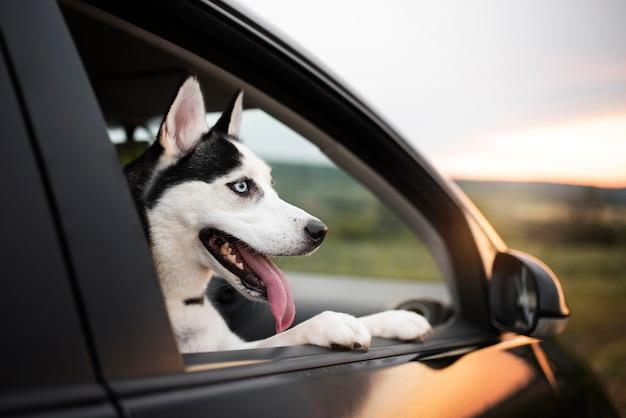 Süßer hund mit herausgestreckter zunge, der aus dem fenster schaut