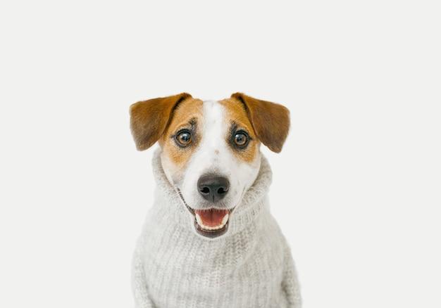 Süßer jack russell mit grauem pullover sitzt auf hellem hintergrund Premium Fotos