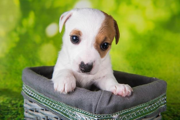 Süßer jack-russell-terrier-welpe sitzt in einer osterkiste