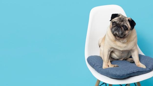 Süßer kleiner hund auf einem weißen stuhl