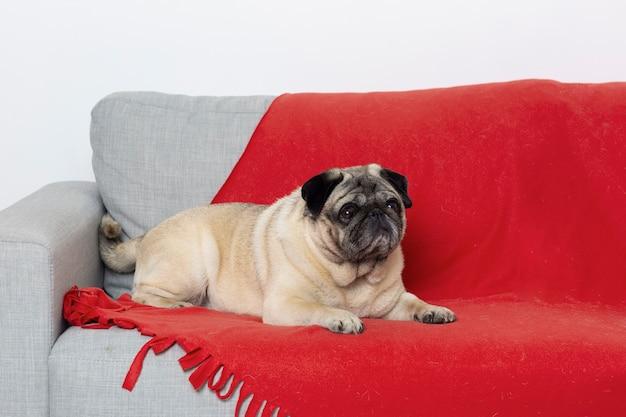 Süßer kleiner hund auf einer couch