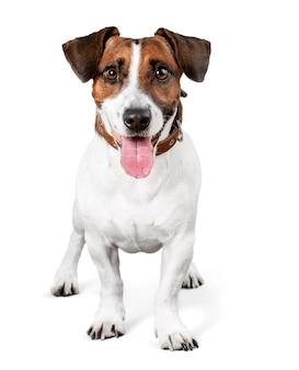 Süßer kleiner hund jack russell terrier
