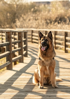 Süßer, kräftiger deutscher schäferhund, der mit offenem maul auf einer holzbrücke sitzt
