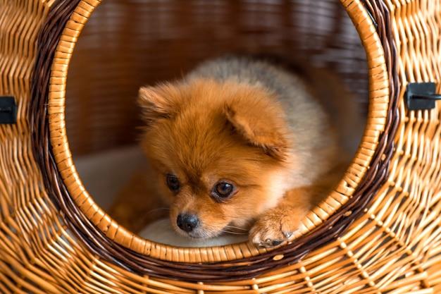 Süßer reizender kleiner pommerscher welpe im weidenhundehaus