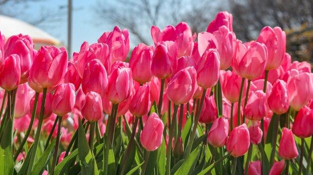Süßer rosa tulpenblumenfeld-landhintergrund der natürlichen frische der schönheit.