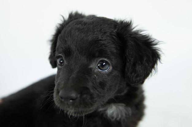 Süßer schwarzer flat-coated retriever hund mit einem bescheidenen gesichtsausdruck