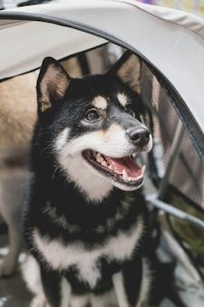 Süßer shiba hund