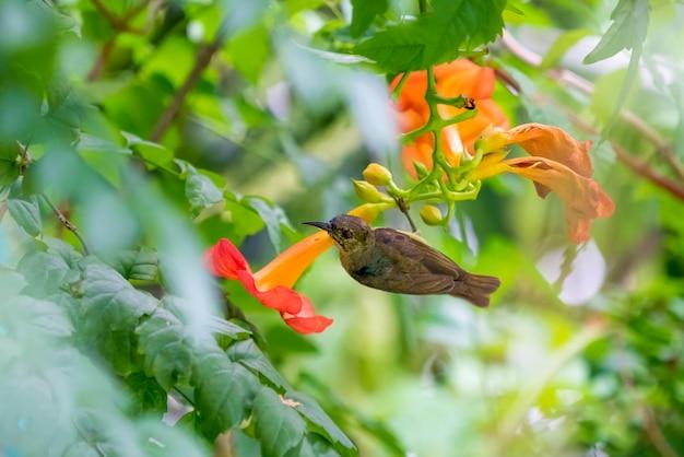 Süßer vogel, olive backed sunbird trinkt nektar aus einem pollen bei orangenblüte. am morgen des sommers.