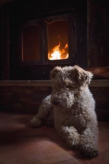 Süßer weißer und lockiger foxterrier-hund, der vor dem brennenden kamin sitzt