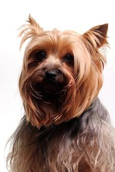 Süßer yorkshire terrier