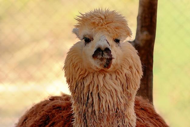 Süßes alpaka auf dem bauernhof. schöne und lustige tiere aus namibia Premium Fotos