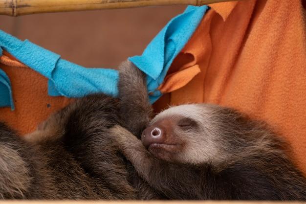 Süßes baby-faultier, das friedlich schläft, während es sich an orangefarbenen laken festhält, die an einer bambusstange aufgehängt sind