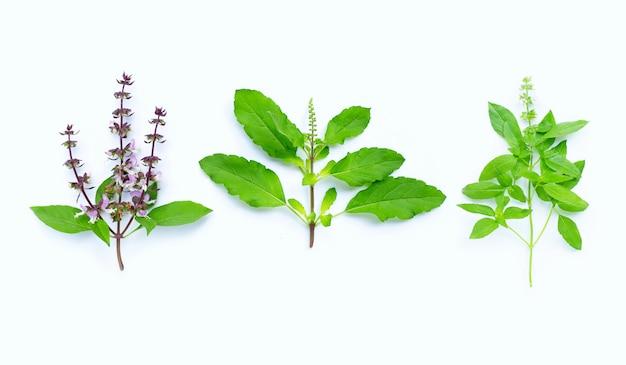 Süßes basilikum, heiliges basilikum und haariges basilikum mit blüten auf weiß