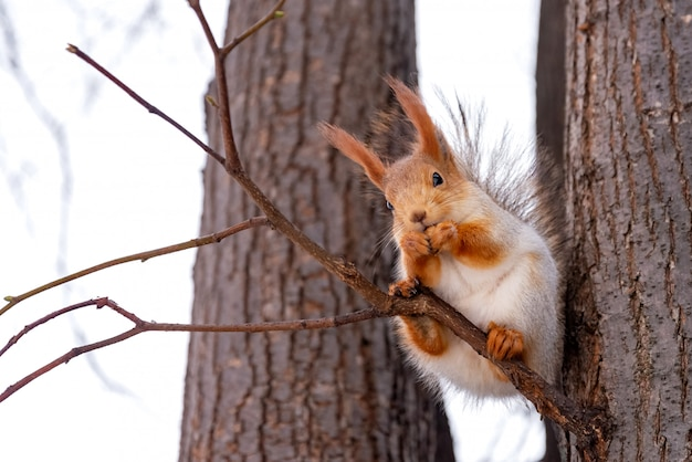 Süßes eichhörnchen frisst eine nuss im winterpark