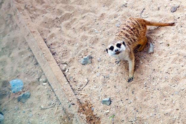 Süßes erdmännchen in einem natürlichen zoo