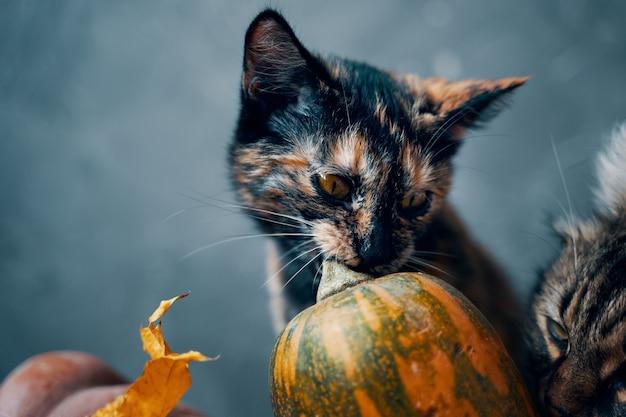 Süßes kätzchen knabbert am stiel eines bunten kürbisses neben einer großen flauschigen katze, die an einem pum schnüffelt...