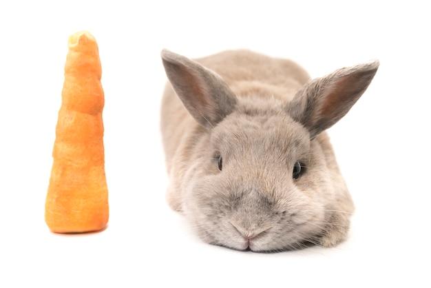 Süßes kaninchen grau mit gespreizten ohren neben einer karotte auf weißem hintergrund liegend