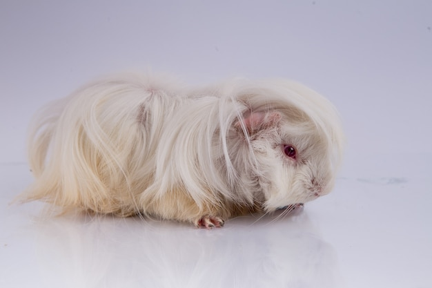 Süßes meerschweinchen meerschweinchen silkie lila typ