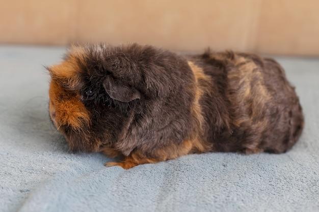 Süßes merino-meerschweinchen mit langen haaren. haustiere.