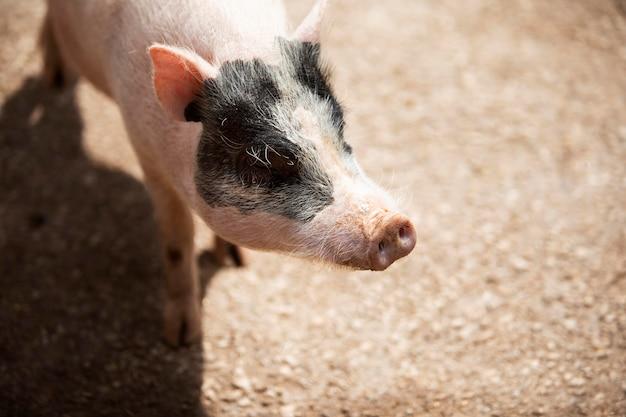 Süßes schwein mit schwarzem fleck
