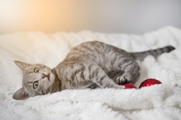 Süßes tabby-kätzchen mit blauen augen spielt mit einem weihnachtlichen roten spielzeugball auf einem weißen plaid im wohnzimmer...