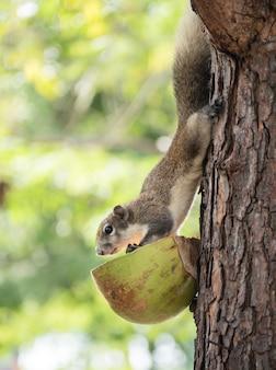 Süßes waldhörnchen kam vom baum herunter, um essen von den dorfbewohnern zu essen.
