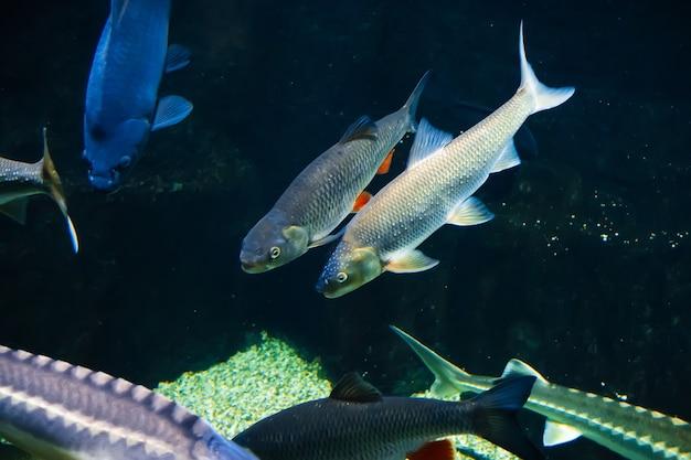 Süßwasserflussfisch unter wasser im aquarium