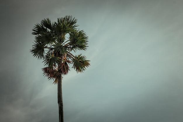 Sugar palm bäume am himmel hintergrund