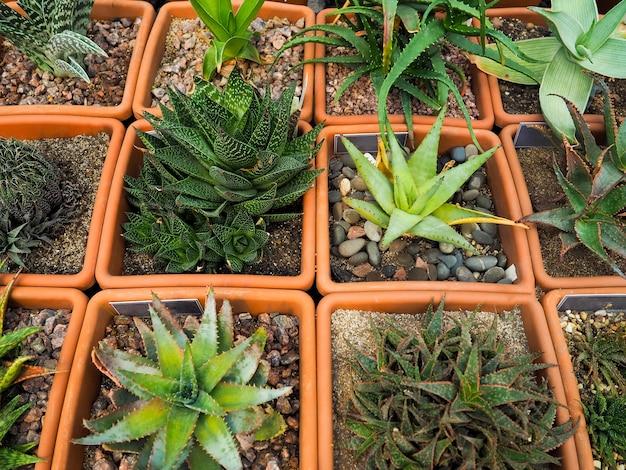 Sukkulente, echinocactus grusonii sukkulente