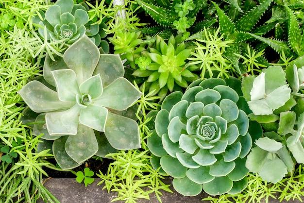 Sukkulente kaktuspflanze im gewächshaus