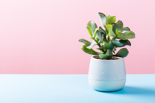 Sukkulente pflanze der zimmerpflanze im grauen keramiktopf