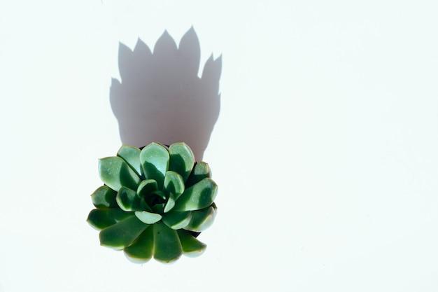 Sukkulente pflanze mit schattenüberlagerung, draufsichtszene