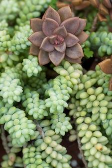 Sukkulente pflanze