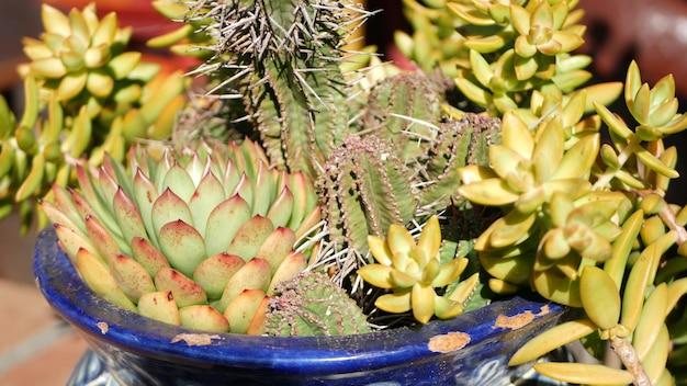 Sukkulenten im blumentopf, gartenarbeit in kalifornien usa. pflanzen im bunten tontopf. mexikanischer garten