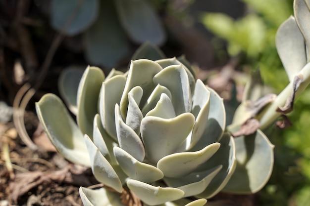 Sukkulenten kaktus nahaufnahme muster und ornament von saftigen kaktus in einem topf durch sonnenlicht im sommerhaus ...