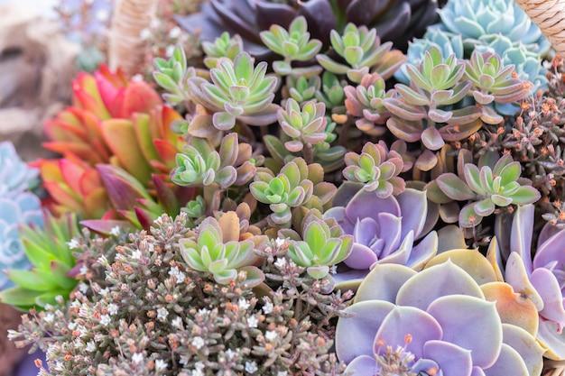 Sukkulenten oder kaktus im botanischen garten der wüste für dekorations- und landwirtschaftsdesign.
