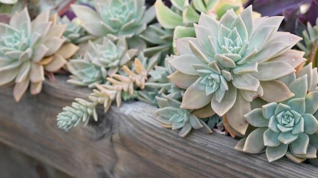 Sukkulentensammlung, gartenarbeit in kalifornien, usa. hausgartengestaltung, vielfalt verschiedener botanischer hühner und küken. sortierte mischung aus dekorativen zierpflanzen echeveria, blumenzucht