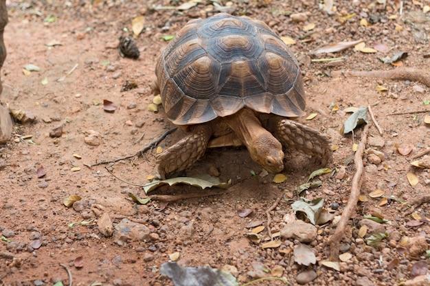 Sulcata-schildkröte, afrikanische spornschildkröte (geochelone sulcata)