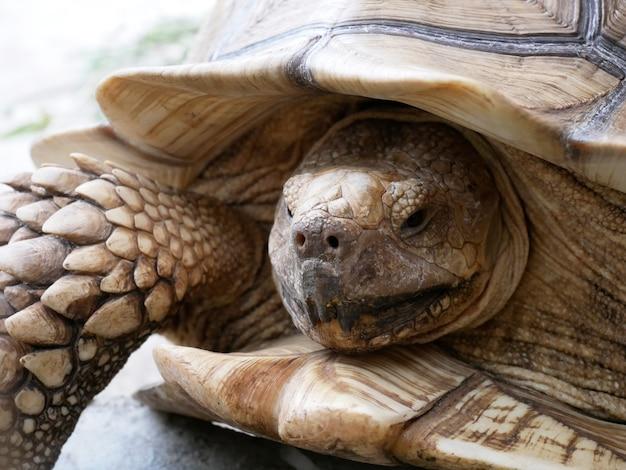 Sulcata-schildkröte, die oben im zooabschluß schaut