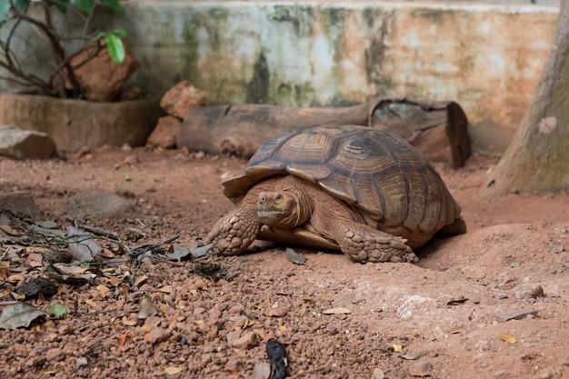 Sulcata-schildkröte (geochelone sulcata) ist eine der größten schildkrötenarten der welt.