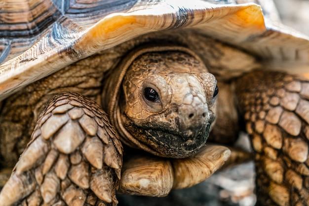 Sulcata schildkröte ist tiere im zoo