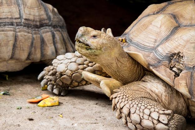 Sulcata-schildkröte liegt in der natur.