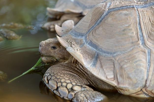 Sulcata-schildkröte