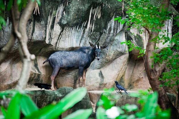Sumantran serow eine in den bergwäldern der thailändisch-malaiischen halbinsel beheimatete ziegenantilopenart