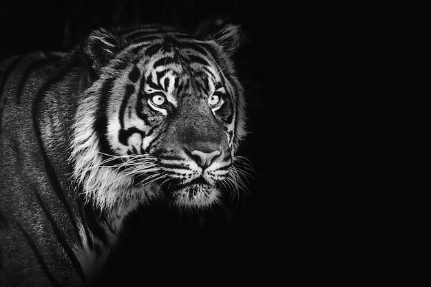 Sumatra tiger auf schwarzem hintergrund, remixed aus fotografie von mehgan murphy