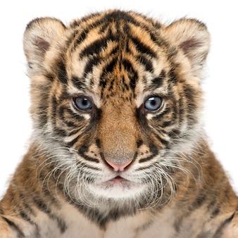 Sumatra-tigerjunges, panthera tigris sumatrae, 3 wochen alt. tigerporträt isoliert