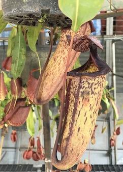 Sumpfkannenpflanze oder affenschalen