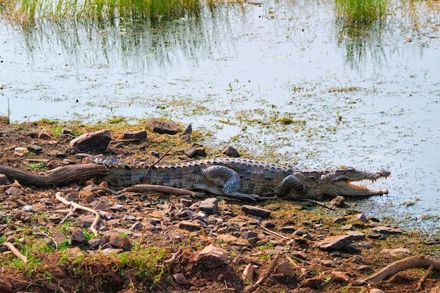 Sumpfkrokodil mugger krokodil crocodylus palustris mit stupsnase