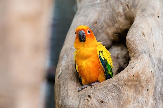 Sun conure-papagei, der am zweig steht